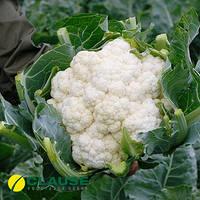 Семена капусты Авизо F1 (Clause), 1000 семян — средне-ранняя (70-75 дней), цветная