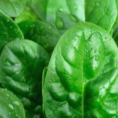 Семена шпината Боа (Rijk Zwaan/Агропак+) 2 г — ранний (45 дней), холодоустойчивый, листья округлые