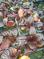 Живучка пурпуролистная, фото 1