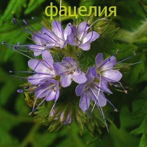 Фацелия семена — цветок-медонос, привлекает садовода своим очаровательным полевым цветком