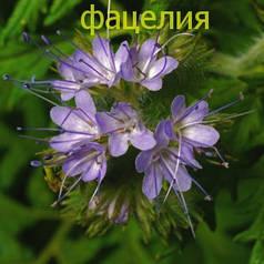 Фацелия семена-цветок-медонос, привлекает садовода своим очаровательным полевым цветком