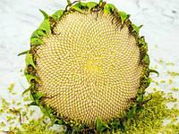 Подсолнух Тарахумара белое сияние, фото 1