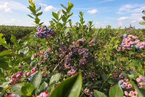 Саженцы голубики! Полезные советы для садоводов