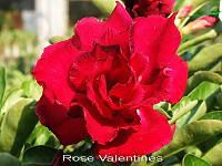 Адениум. №21 Rose valentine(семена 2шт)