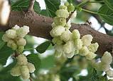 Шовковиця (тутового дерева) Скажімо цукрового діабету немає 30 г, фото 2