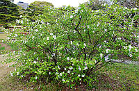 Семена розовика кериевидного