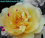 Півонія Itoh «Lemon Dream» корінь 3/5почек, фото 3