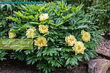 Пион Itoh «Lemon Dream» корень 3/5почек, фото 5