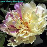 Пион Itoh «Lemon Dream» корень 3/5почек, фото 4