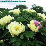 Пион Itoh «Lemon Dream» корень 3/5почек, фото 2