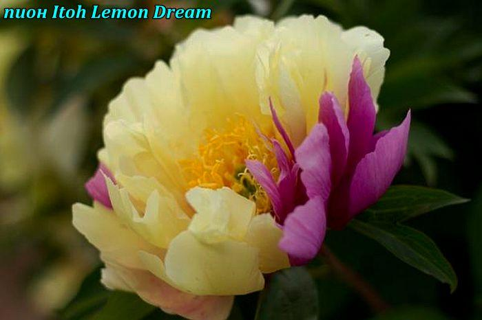 Пион Itoh «Lemon Dream» корень 3/5почек