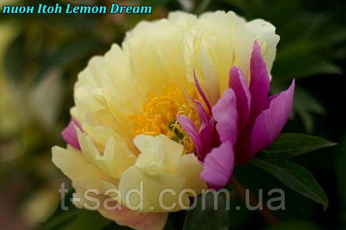 Півонія Itoh «Lemon Dream» корінь 3/5почек