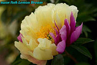 Пион Itoh «Lemon Dream» (Лимонная мечта) корень