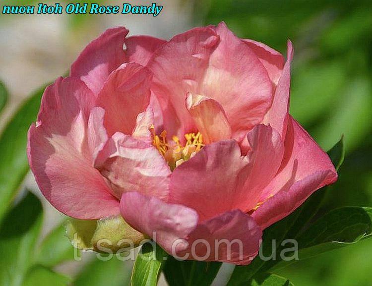 Півонія Itoh «Old Rose Dandy » корінь 3/5почек