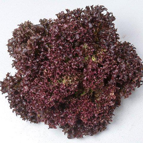 Семена салата Лея, (5000 сем.) Enza Zaden