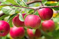 На жаль, не завжди вдається домогтися гарного врожаю цих чудових фруктів