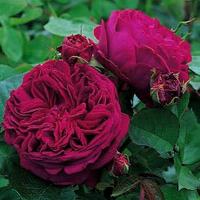 Роза Брайт вайт.