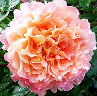 Роза Августа Луиза.