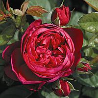 Роза Аскот.