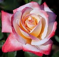 Роза Летиция Касто