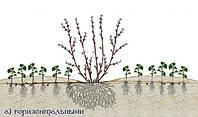 Удивительно простой способ размножения ягодных кустарников
