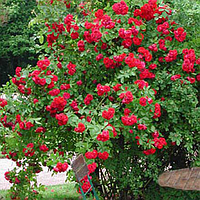 Роза плетистая Нахелглут