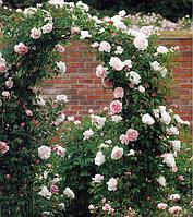 Роза плетистая Просперити
