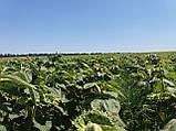 Гибрид подсолнечника под евролайтинг БОГДАН. Семена устойчивы к заразихе и засухе. Урожайный подсолн, фото 2