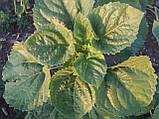 Гибрид подсолнечника под евролайтинг БОГДАН. Семена устойчивы к заразихе и засухе. Урожайный подсолн, фото 3