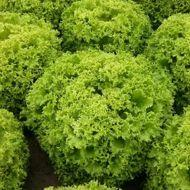 Семена салата Вили, (5000 сем.)