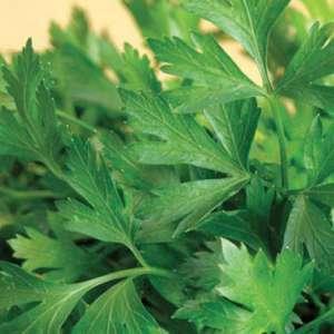 Семена петрушки Гигант де Италия (Hem Zaden / САДЫБА ЦЕНТР) 20 г — ранняя, листовая, большие листья