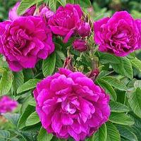 Роза парковая Ханса.
