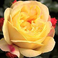 Роза Лампион.
