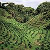 Основные страны – производители кофе