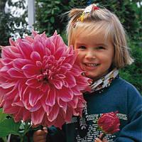 Георгина декоративная крупноцветковая Emory Paul