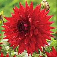 Георгина декоративная крупноцветковая Holly Huston
