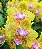 Взрослые орхидеи. Сорт P. Nobby's Pumpkin (MC) ЦВЕТЕТ