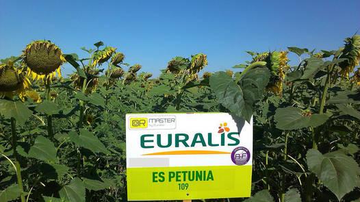 Семена подсолнечника ЕС Петуния (Euralis Semences)