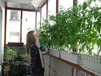 Как на балконе вырастить огурцы