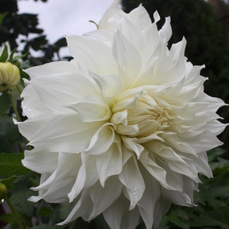 Георгина декоративная крупноцветковая White Perfection