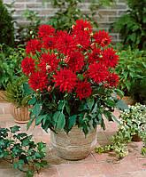 Жоржина низькоросла кактусовидна  Red Pygmy