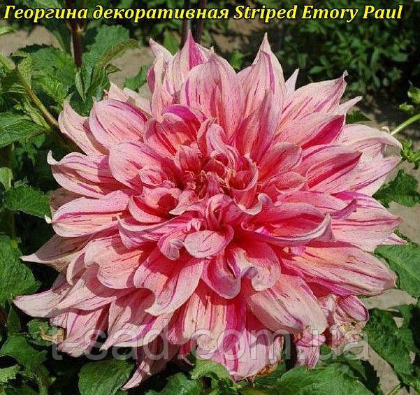 Георгина декоративная Striped Emory Paul(Полосатый Эмори Пол)