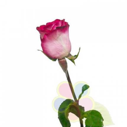 Роза флорибунда Ривьера (Riviera), фото 2