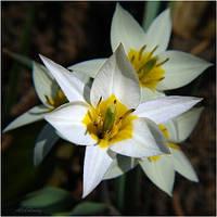 Луковицы тюльпана ботанического Turkestanica, фото 1