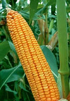 Семена кукурузы гибрид Солонянский (АК Степова)