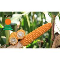 Насіння кукурудзи Богатир