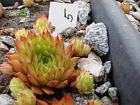 Молодило BARBAROSA № 5 ( Каменная роза)