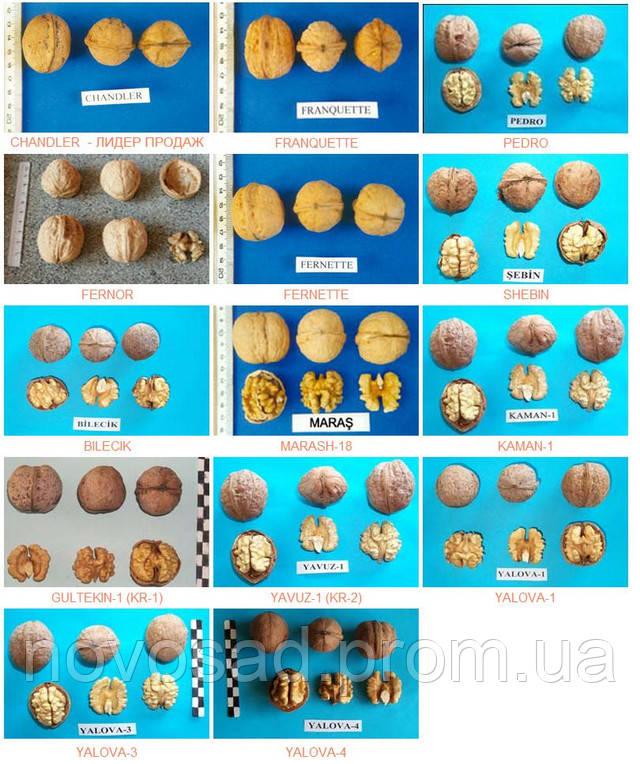 Доступные сорта ореха