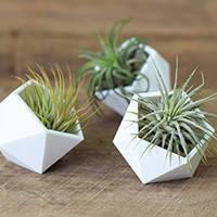 Тилландсии Воздушные растения