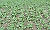 Как предотвратить вымерзание посевов рапса?